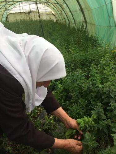 Fatima grows traditional herbs under cover to reduce water use