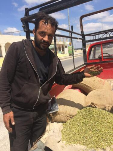 Jordanian farmer with freekeh wheat
