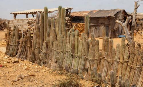 wayuu-cactus