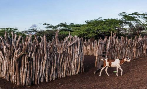 wayuu-goat